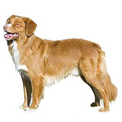 Photo of Nova Scotia Duck Tolling Retriever