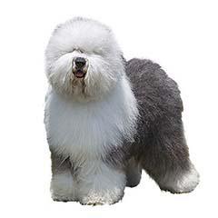 Photo of Old English Sheepdog