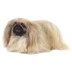 Photo of Pekingese
