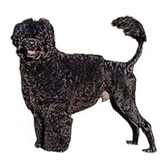 Photo of Portuguese Water Dog
