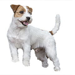 Photo of Russell Terrier
