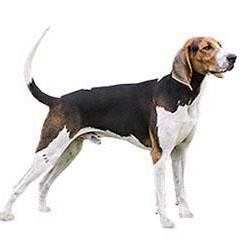 Photo of Treeing Walker Coonhound