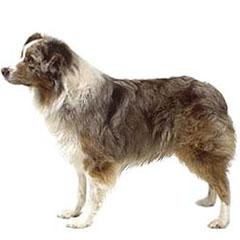 Photo of Australian Shepherd