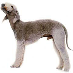 Photo of Bedlington Terrier