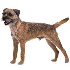 Photo of Border Terrier
