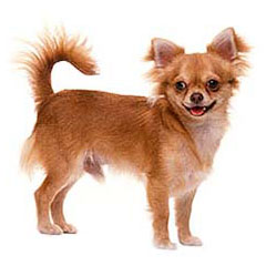 Photo of Chihuahua