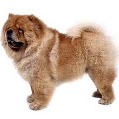 Photo of Chow Chow