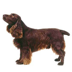 Photo of Field Spaniel