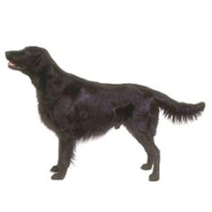 Photo of Flat-Coated Retriever