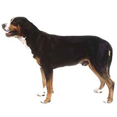 Photo of Greater Swiss Mountain Dog