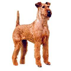Photo of Irish Terrier
