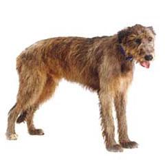 Photo of Irish Wolfhound