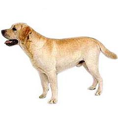 Photo of Labrador Retriever
