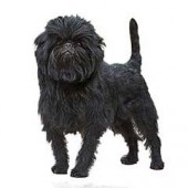 Photo of Affenpinscher