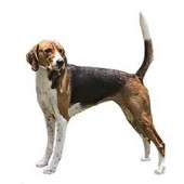 Photo of American Foxhound