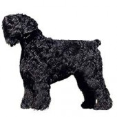Photo of Black Russian Terrier
