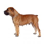 Photo of Boerboel