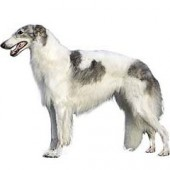 Photo of Borzoi