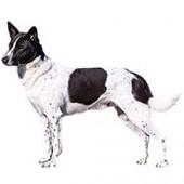 Photo of Canaan Dog