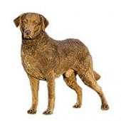 Photo of Chesapeake Bay Retriever