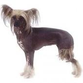 Photo of Chinese Crested Dog