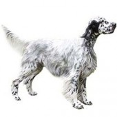 Photo of English Setter