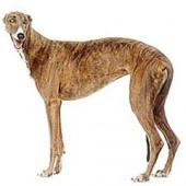 Photo of Greyhound