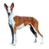 Photo of Ibizan Hound