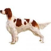 Photo of Irish Red and White Setter