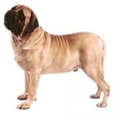 Photo of Mastiff