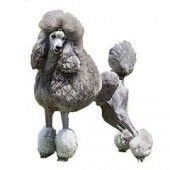 Photo of Poodle