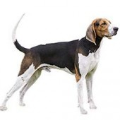 Photo of Treeing Walker Coonhound