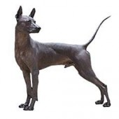 Photo of Xoloitzcuintli