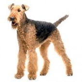 Photo of Airedale Terrier