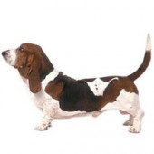 Photo of Basset Hound