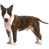 Photo of Bull Terrier