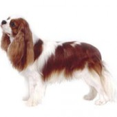 Photo of Cavalier King Charles Spaniel