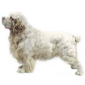 Photo of Clumber Spaniel