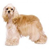 Photo of Cocker Spaniel
