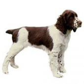 Photo of English Springer Spaniel