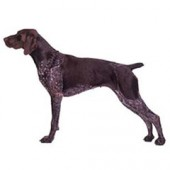 Photo of German Shorthaired Pointer