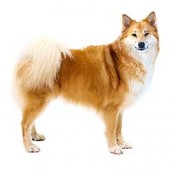 Photo of Icelandic Sheepdog