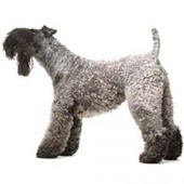 Photo of Kerry Blue Terrier