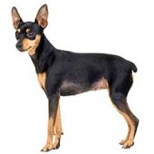 Photo of Miniature Pinscher