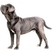 Photo of Neapolitan Mastiff