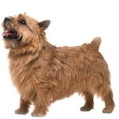 Photo of Norwich Terrier