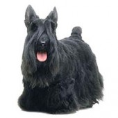 Photo of Scottish Terrier