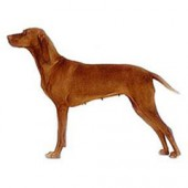 Photo of Vizsla