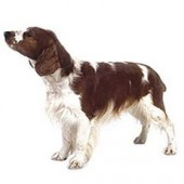 Photo of Welsh Springer Spaniel