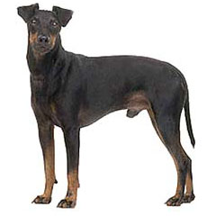 Photo of Manchester Terrier